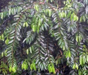 Scorodocarpus-borneensis