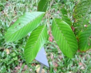 Shorea-dasyphylla