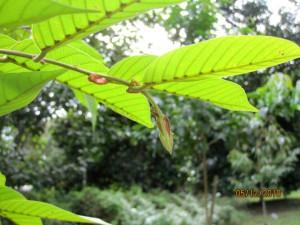 Shorea-dasyphylla-stip