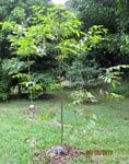 Shorea-dasyphylla2-sm