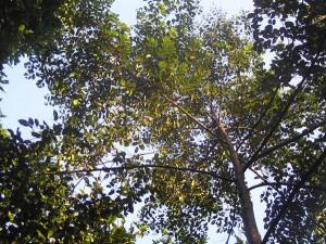 Shorea-parvifolia