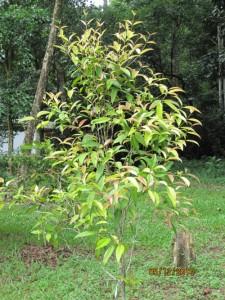 Syzygium-chlorantha
