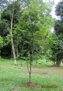 Syzygium-cumingiana