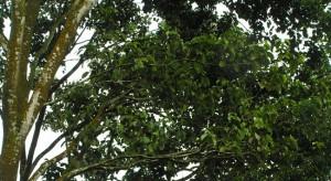 Syzygium-grandis_branch