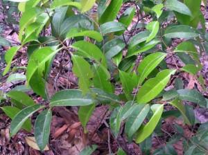 Syzygium-spPekan