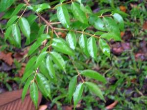 Syzygium-spicata