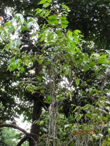 Syzygium-zeylanica