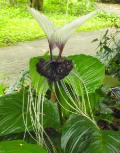 Tacca-integrifolia