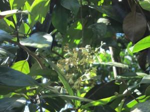 Va pauciflora infloresence