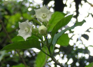 A tropical fragrant garden rimbun dahan vallaris glabra or kesidang left is more oriental in character and perhaps a liking for it is acquired burkhill describes the smell as mousy mightylinksfo