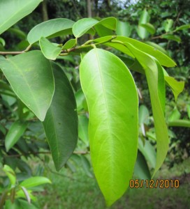 Vatica-lobata-leaf-detail