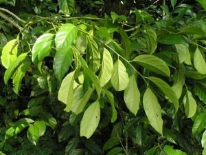 Xanthophyllum