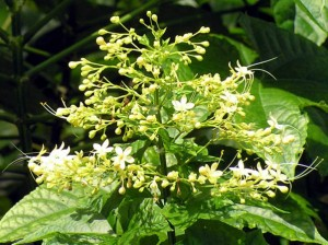clerodendronpaniculata