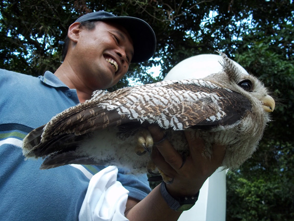 Rimbun Dahan staff member Sham holding an injured Barred Eagle-Owl rescued from the dogs.