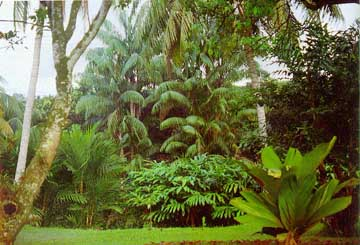 The indigenous garden framed by coconut palms; Achasma megalocheilos has taken over the damp ground in the valley; the palm at the back is Oncosperma tigillarium, ribong, with its beautiful curtain-like pendulous leaflets. The palm on the right is Iguanura wallichiana.