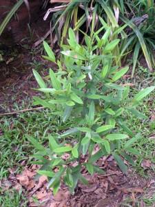Calophyllum-retusum