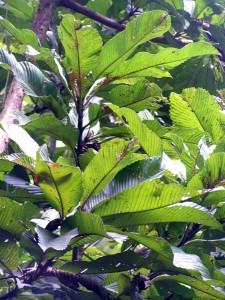Dillenia-grandifolia-2