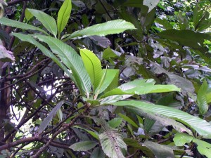 Dillenia-grandifolia