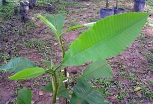 Dillennia-reticulata