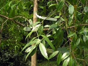 Garcinia-parvifolia