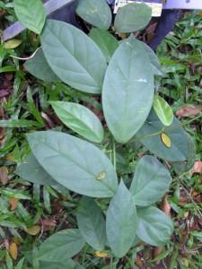 Hoya-coriacea