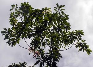 Irvingia-malayana