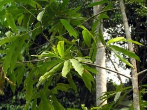 Lithocarpus-lucidus