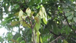 Lithocarpus-maingayi