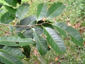 Lithocarpus-rassa-leaf