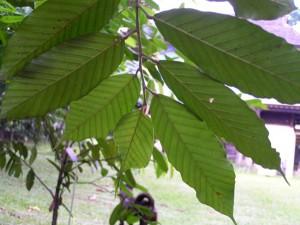 Lithocarpus-wallichianus-2