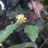 Family Hamamelidaceae