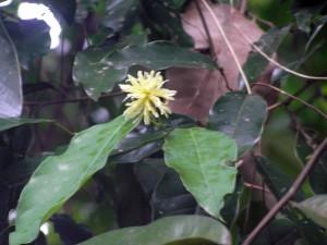 Maingaya-malayana