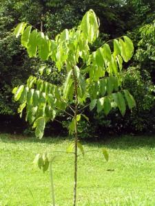 Nephelium-juglandifolium