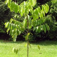 Family Sapindaceae