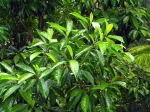 Pteleocarpa-lamponga