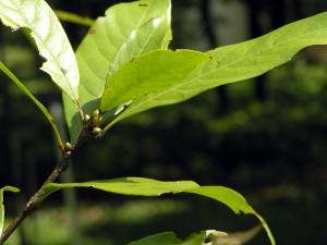 Quercus-gemeliflora