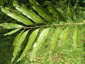 Quercus-sp