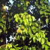 Family Meliaceae