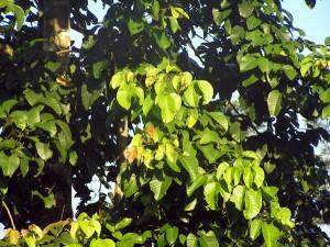 Sandoricum-koetjape
