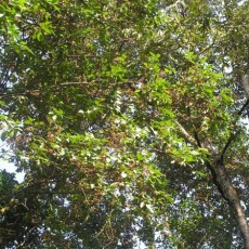Family Myrtaceae