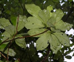 Terminalia-subspathulata-le
