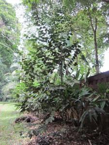 H coreaceae