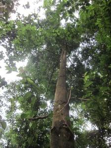 H dryobalanoides canopy