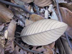 S leprosula dry leaf