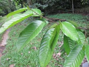 S lumutensis leaf