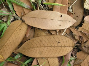 Shorea-maxwelliana-3-leaves