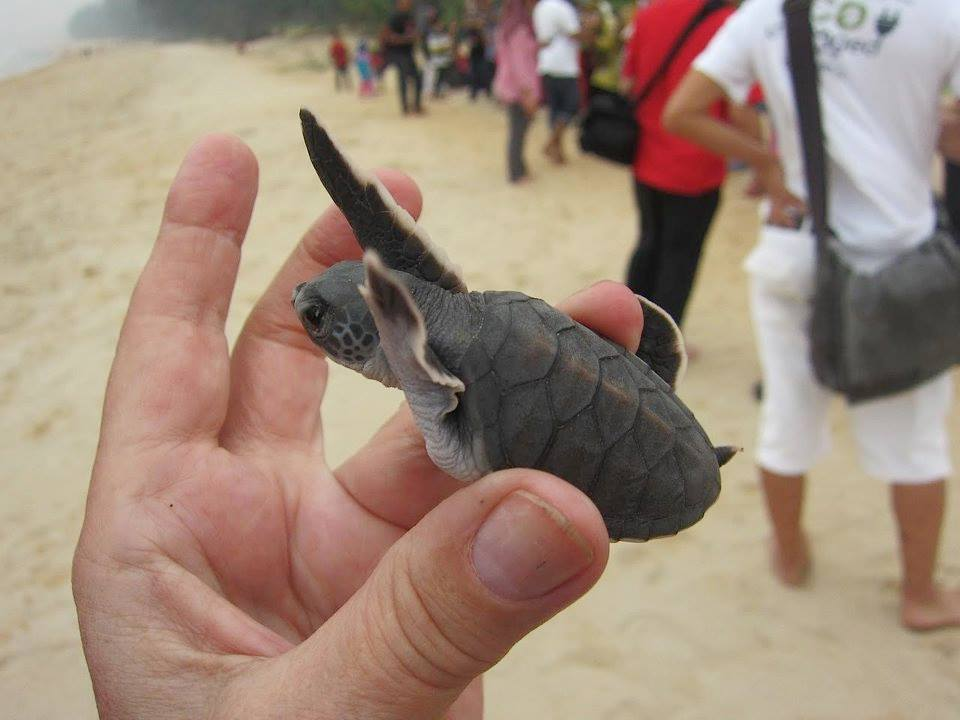 A newly-hatched green turtle, set to swim.