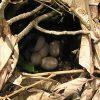 October 2005 -- Jungle Fowl