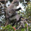 June 2006 -- Dusky Leaf Monkey