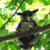 Dec 2009 -- Barred Eagle-Owl and Drongo Cuckoo